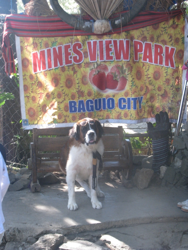 One of the St. Bernards, ready for a photo op.